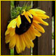 sunflower5's صورة